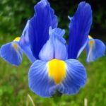Iris neboli kosatec – krásná a štíhlá elegance